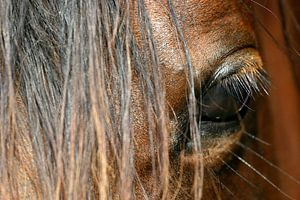 Oog van Arabisch paard