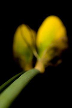 Narcissus Blume von Stephan Van Reisen