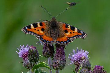 vlinder Kleine Vos op de distel