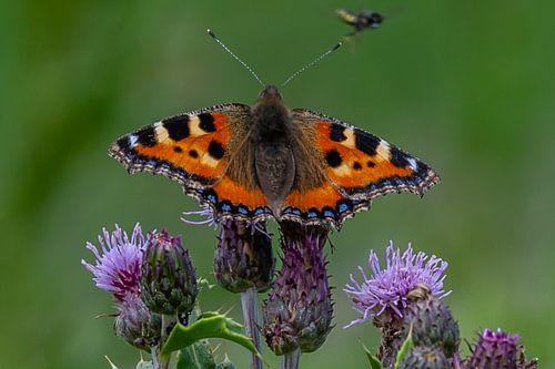 vlinder Kleine Vos op de distel van Arie Jan van Termeij