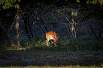 Damhert in bos bij ondergaande zon van Marcel Alsemgeest