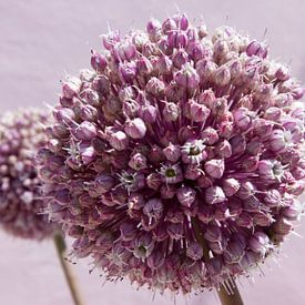 Roze bolvormige bloem, allium sur Michèle Huge