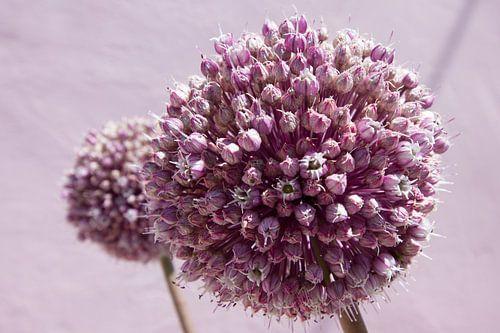 Roze bolvormige bloem, allium van
