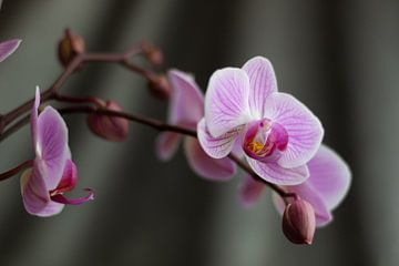 Orchidee Rose van Clazien Boot