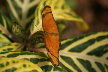 Dryas julia vlinder van Ronald en Bart van Berkel