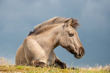 Konik-Pferd, Meijendel, Holland von Jan Fritz