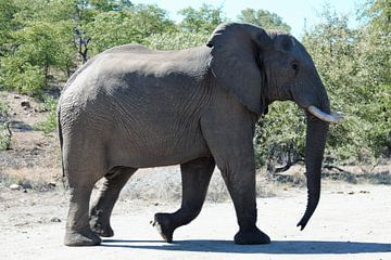 Elefant im Krüger-Nationalpark von Caitlin verbrugge