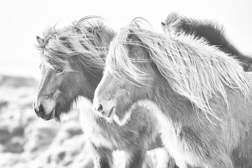 Gegn vindi sur Islandpferde  | IJslandse paarden | Icelandic horses