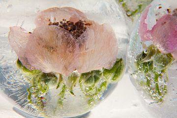 Blüte der Wilden Brombeere in Eis  3 von Marc Heiligenstein