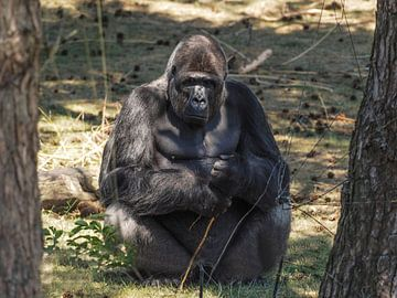 Gorilla : Safaripark Beekse Bergen van Loek Lobel