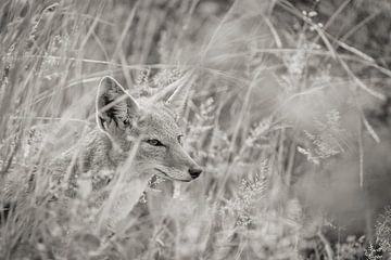 jakhals in het hoge gras van Ed Dorrestein