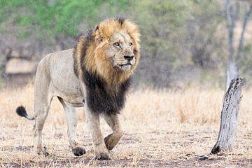 Ein männlicher Löwe auf dem Vormarsch von RobJansenphotography