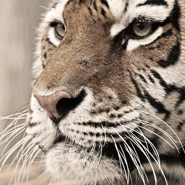 Tigerportrait van Marcel Schauer