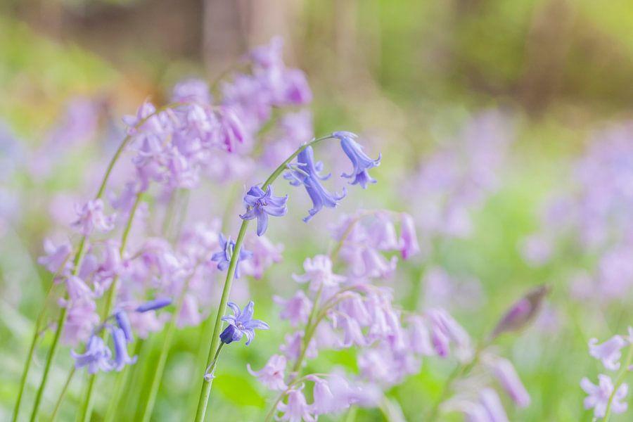 Blauwe boshyacint voor roze boshyacinten