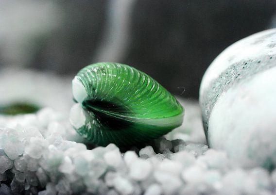 Teichmuschel grün