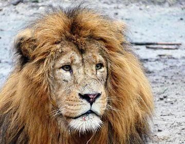 Close up van een leeuw van Petra Dielman