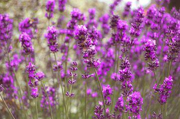 Lavendel in der Blüte von Daphne Groeneveld