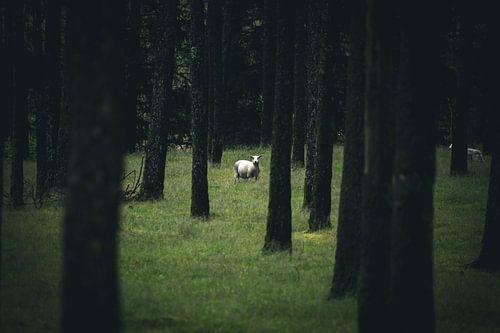 Sheep van