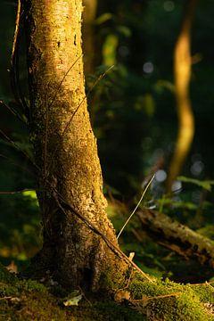 Bemostte boomstronk bij zonsopgang van Jasper van de Gronde