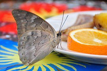 Grey pansy butterfly van esther snoeck