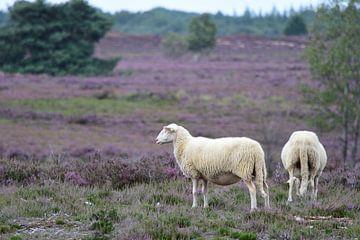 Zwei Schafe auf der Heide von Gerard de Zwaan