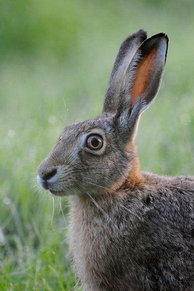 European Hare ( Lepus europaeus ), close up, headshot van wunderbare Erde