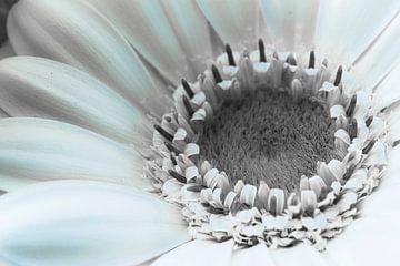 Gerbera blanc, détail sur Rietje Bulthuis