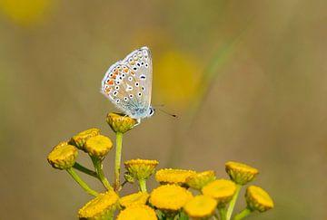 Icarusblauwtje op gele bloem sur Remco Van Daalen