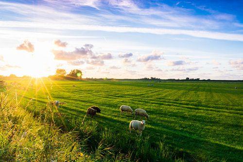Sheepy meadows
