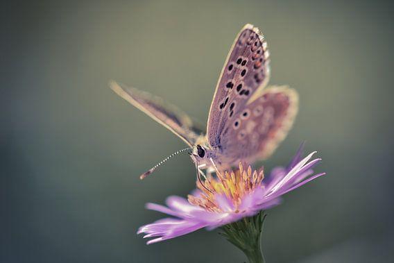 Papillon van Arnaud Bertrande