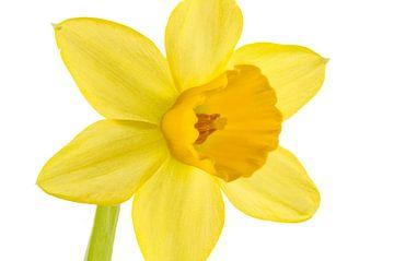 Narcis sur