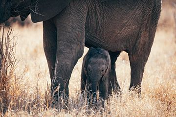 Baby olifant in het wild, Krugerpark, Zuid-Afrika van Louise van Gend