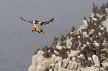 Papegaaiduiker in vlucht van Marcel  Klootwijk