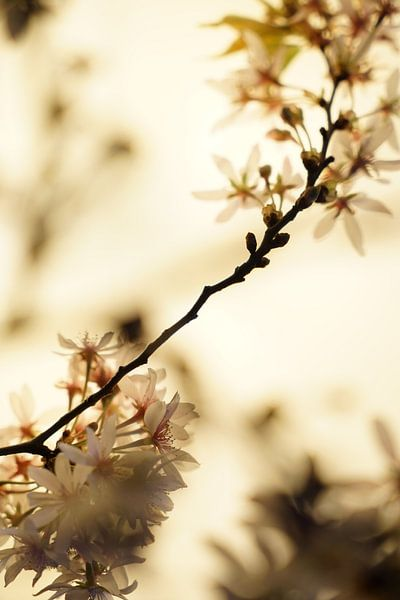 Kirschblüte von Tina Hartung