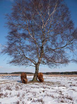 twee schotse hooglanders in de winter