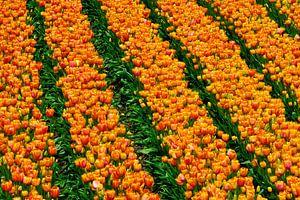 Orange in rows