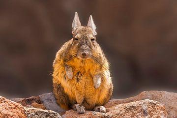 Porträt einer Viscacha von Chris Stenger