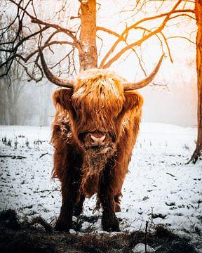 Schottischer Highlander frisst Heu im Schnee von Marion Stoffels