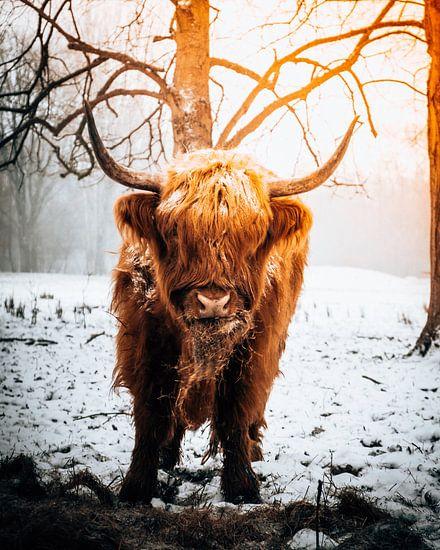 Schotse Hooglander eet hooi in de sneeuw