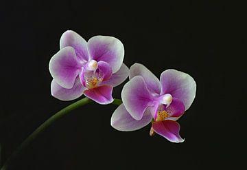 Orchideen von Dieter Beselt