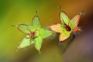 Zaaddozen van geranium bloemen van Jolanta Mayerberg