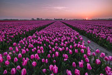 Zonsondergang Tulpenveld van Jolanda Wisselo