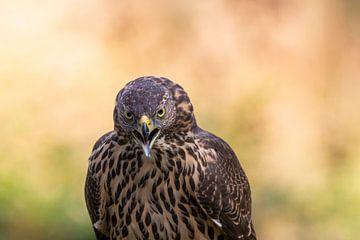 Falke mit schönem Hintergrund von Paul Weekers Fotografie