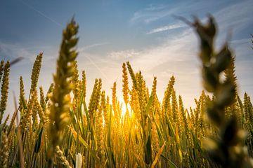 Goldenes Korn bei Sonnenuntergang von Remco-Daniël Gielen Photography