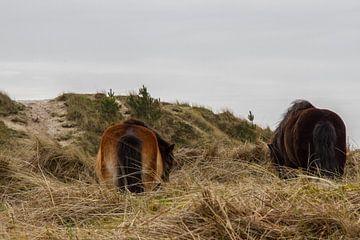 Pony's in het duin van