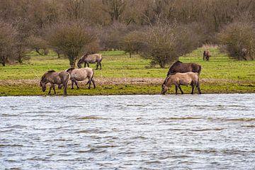 Konik paarden grazend langs het water in de Oostvaarders plassen van Brian Morgan