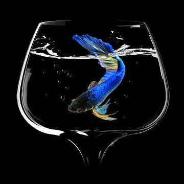 Betta Fisch-Tanz, Antonyus Bunjamin (Abe) von 1x