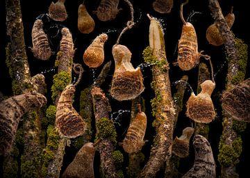 Colocasia esculenta van Olaf Bruhn