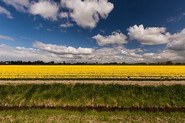 Gele tulpen op Flakkee van Eddy 't Jong