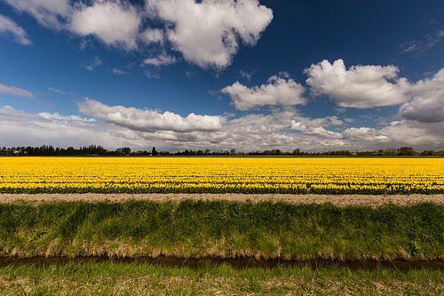 Gele tulpen op Flakkee